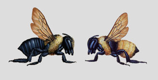 There is a Visual Difference Between Carpenter Bees and Bumblebees