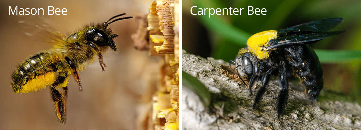 Mason Bees vs. Carpenter Bees   Best Bee Brothers