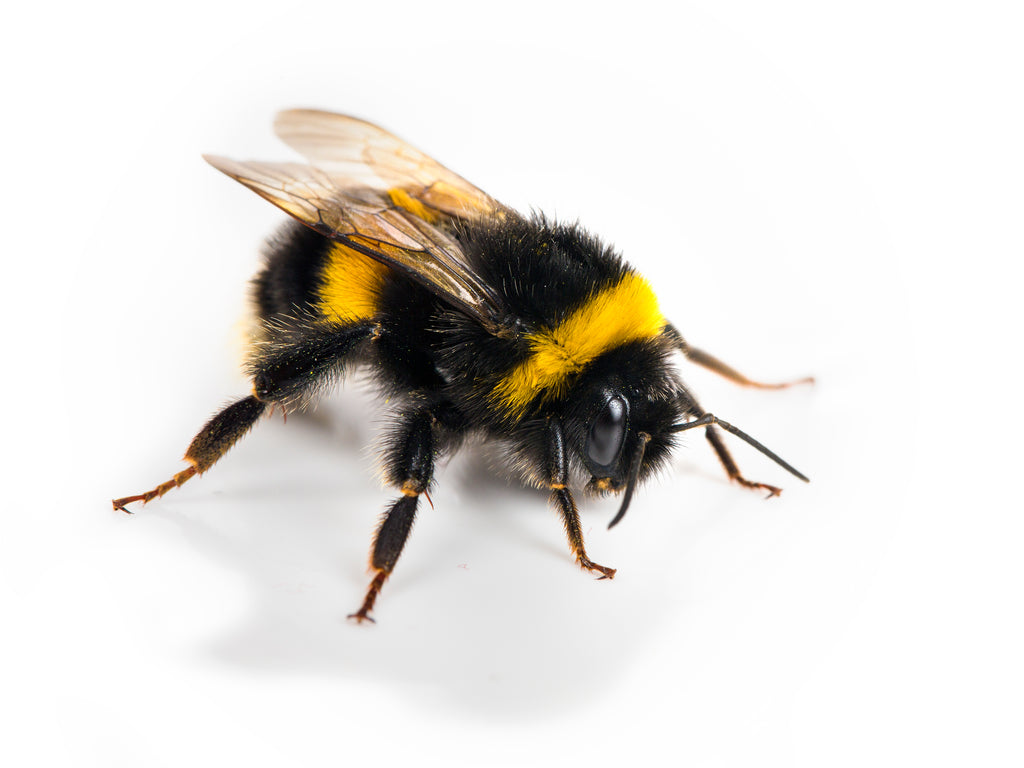 Black Bumble Bee >> Big Black Bee Bumblebee Vs Carpenter Bee Best Bee Brothers
