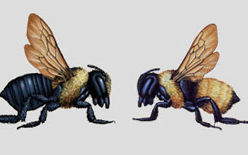 About Carpenter Bees & Nesting Habits
