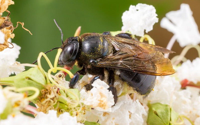 Types of Carpenter Bees