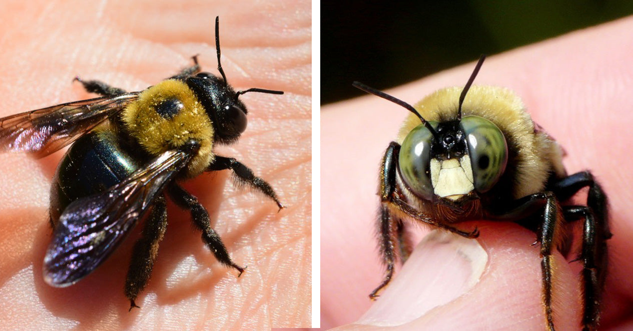 A female carpenter bee's head is mostly black with no markings on her head<br> Photo Credit: blogs.cornell.edu