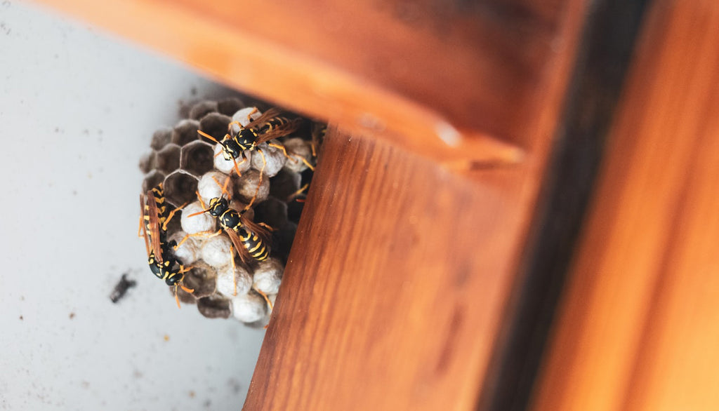 A wasp nest of colony workers | Best Bee Brothers