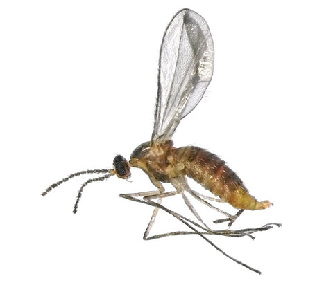 Enlarged image of No-See-Um or biting midge