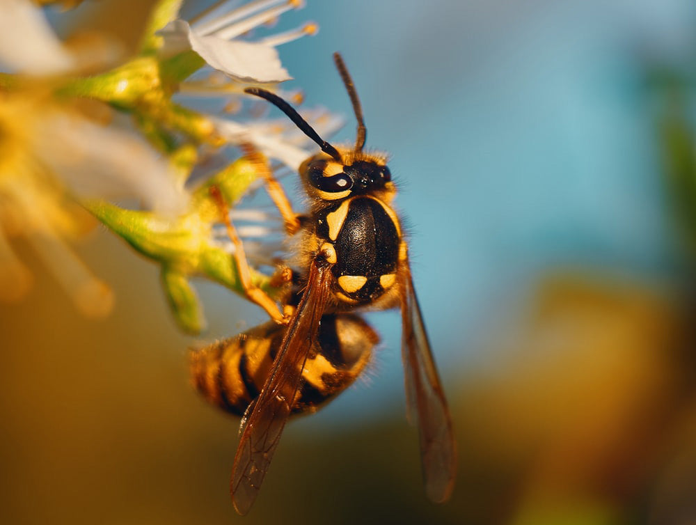 A queen wasp is the largest in their colony | Best Bee Brothers