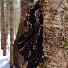 Wild Chaga Growing