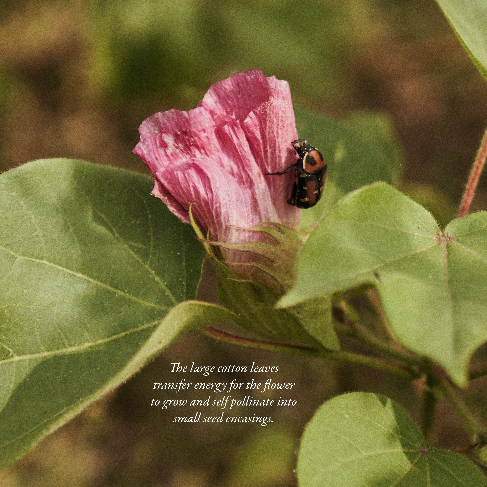 The large cotton leaves transfer energy for the flower to grow and self pollinate into small seed encasings.