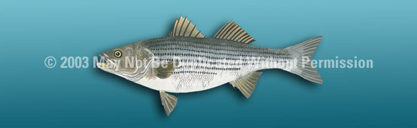 Window Graphic - 16x54 Striped Bass Light Blue - ClearVue Graphics - Dropship Direct Wholesale