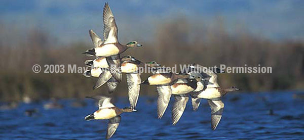 Window Graphic - 30x65 American Wigeon - ClearVue Graphics - Dropship Direct Wholesale