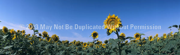 Window Graphic - 16x54 Sunflowers - ClearVue Graphics - Dropship Direct Wholesale