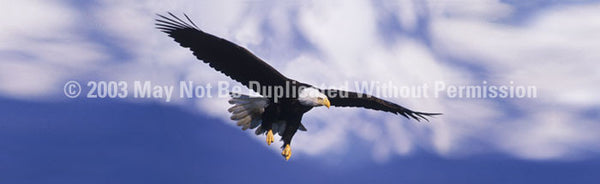 Window Graphic - 16x54 Eagle in Flight - ClearVue Graphics - Dropship Direct Wholesale