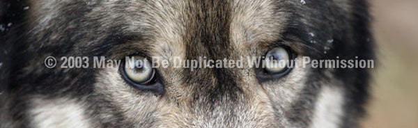 Window Graphic - 20x65 Wolf Eyes - ClearVue Graphics - Dropship Direct Wholesale