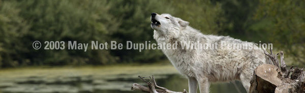 Window Graphic - 16x54 Grey Wolf - ClearVue Graphics - Dropship Direct Wholesale
