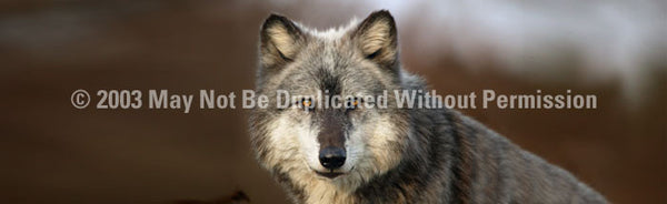 Window Graphic - 16x54 Wolf Portrait - ClearVue Graphics - Dropship Direct Wholesale