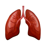 Organs of the human body, organs of the human body flashcards, Lungs