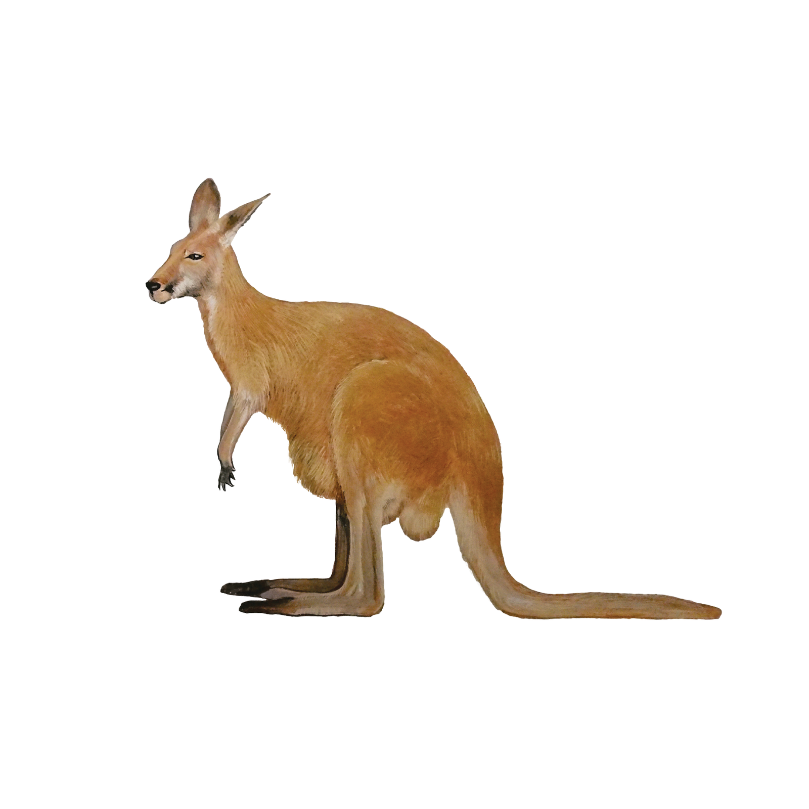 Mammals Flashcards for kids, Animals Flashcards, Red Kangaroo