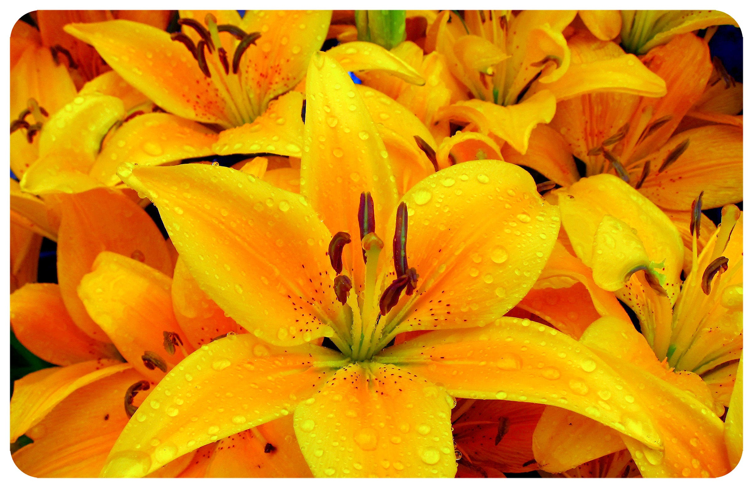 Wholesale- (2 units) Lilies FoFlor Accent Mat