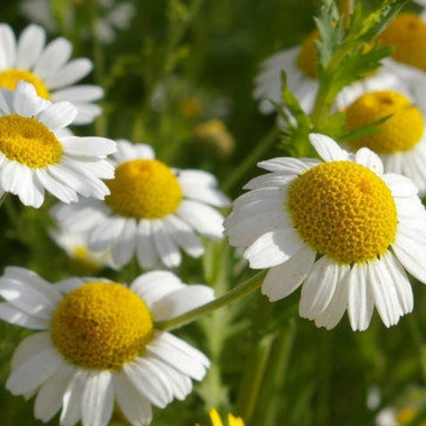 Why we love natural ingredients, Chamomile
