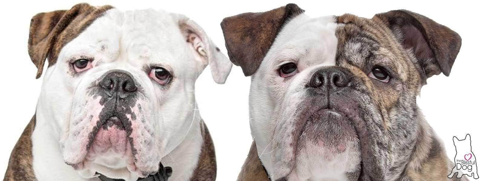 The Olde English Bulldogge History The Realization Of A Dream