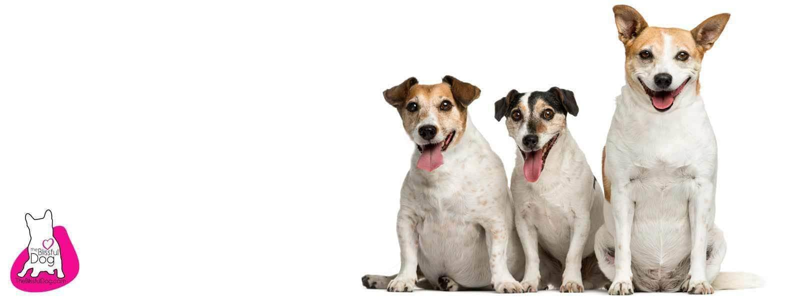 Jack Russell? Parson Russell? Russell Terrier?