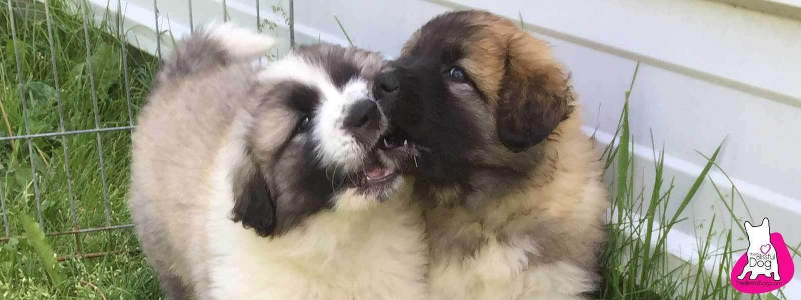 great pyrenees mix puppies