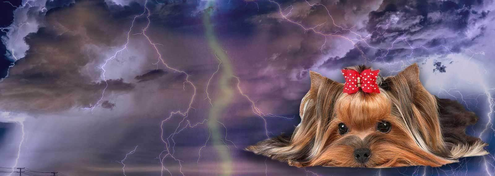 yorkshire terrier scared thunderstorm