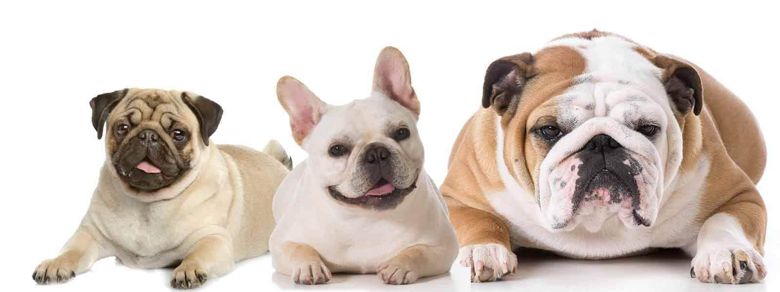 How To Clean Bulldog Faces or Any Flat-Faced Dog Face