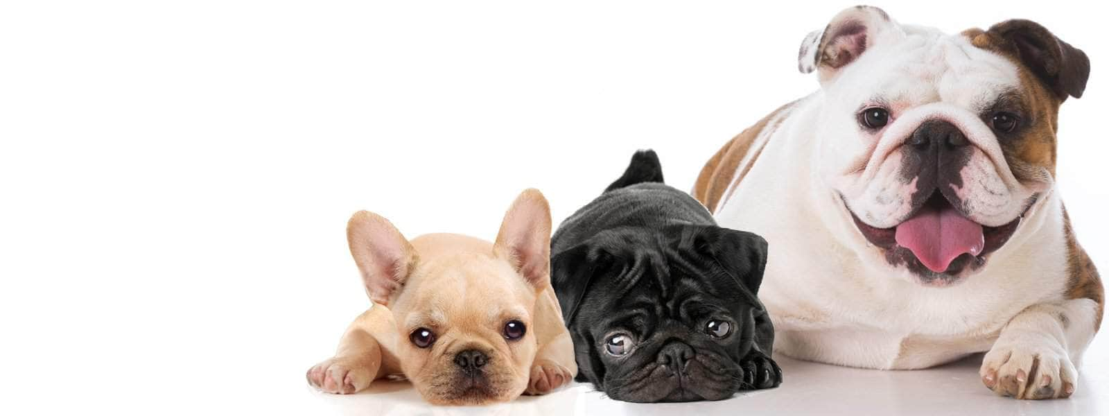 Brachycephalic syndrome…common in French Bulldogs, Pugs etc.