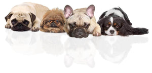 FLAT FACED DOGS - LOVE 'EM? LAUGH AT 'EM? FRENCH BULLDOGS, PUGS, BULLDOGS ET AL ARE STEALING HEARTS