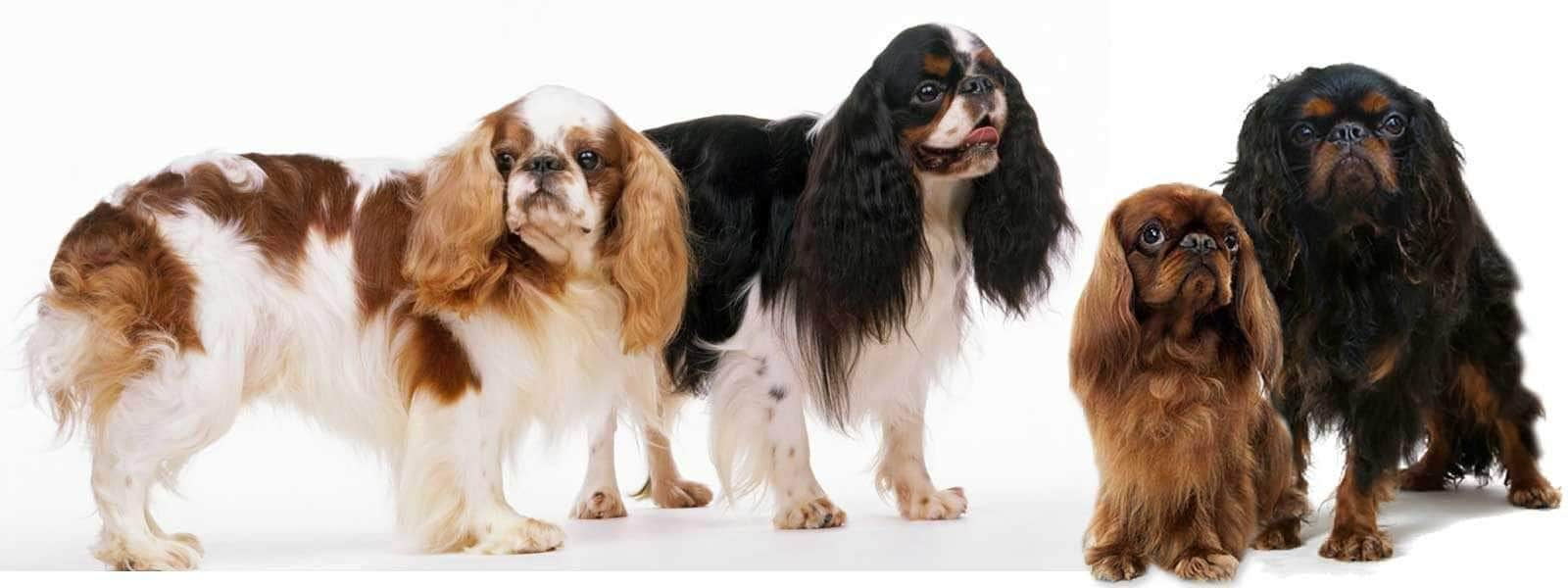 THE ENGLISH TOY SPANIEL CONFIDANT TO KINGS AND QUEENS