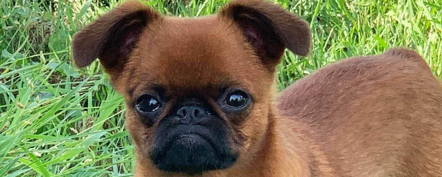 Larcaan smooth Brussels Griffon