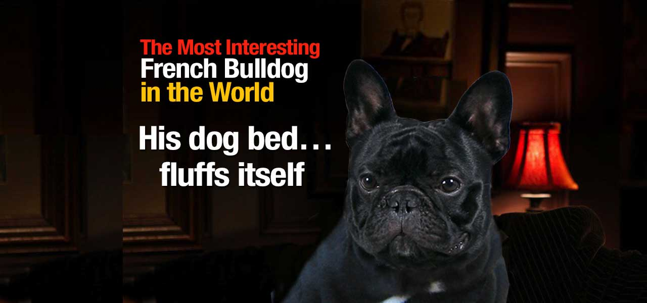 The Most Interesting French Bulldog in the World