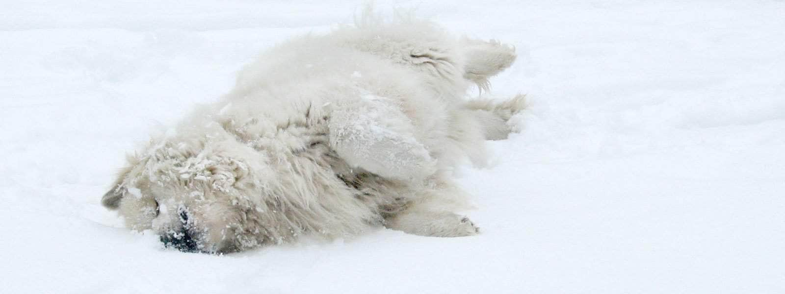 great pyrenees snow