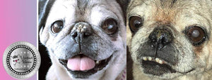 Nose Butter Saved This Pug From Surgery!