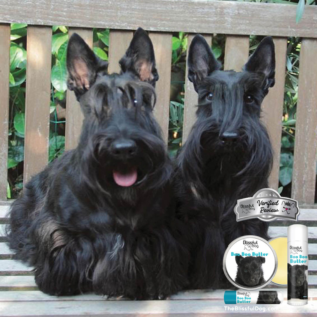 scottish terrier skin care