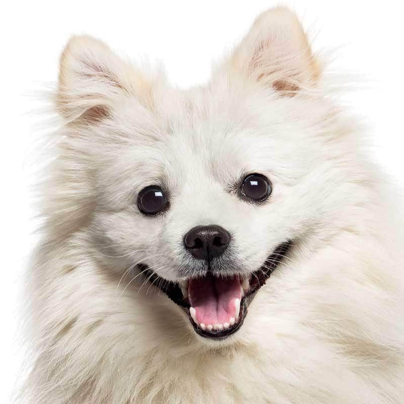 American Eskimo Dog Collection