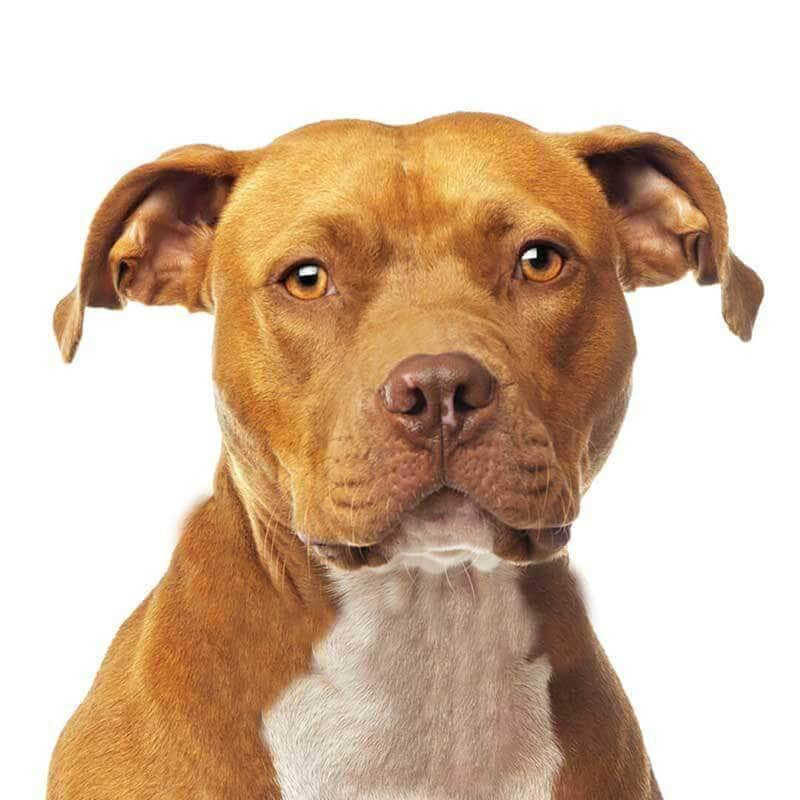 American Staffordshire Terrier Collection