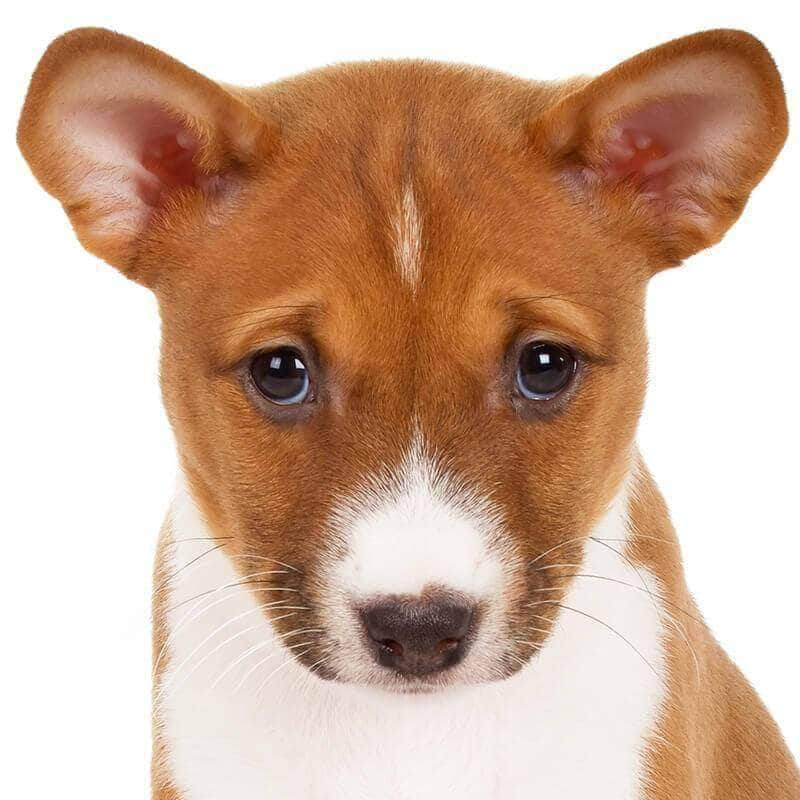 Basenji Collection