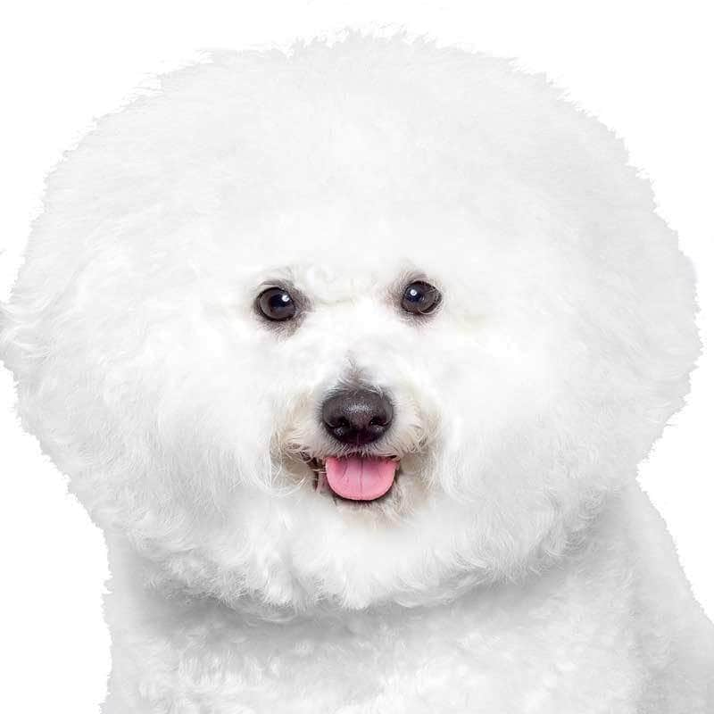 Bichon Frise Collection
