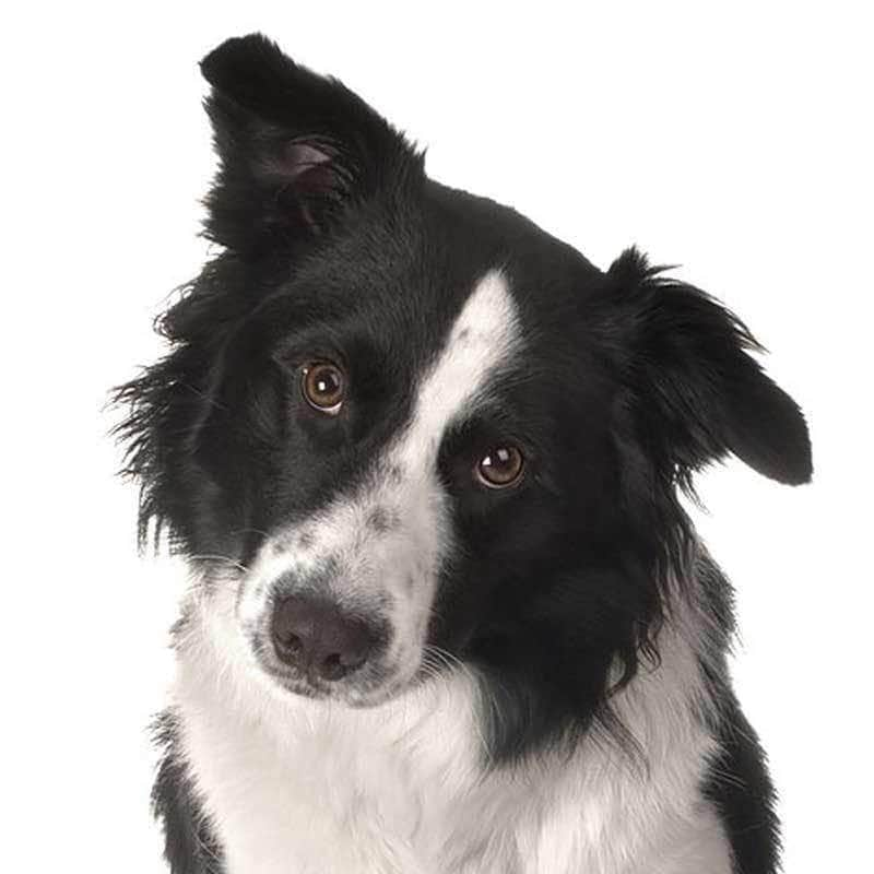 Border Collie Collection