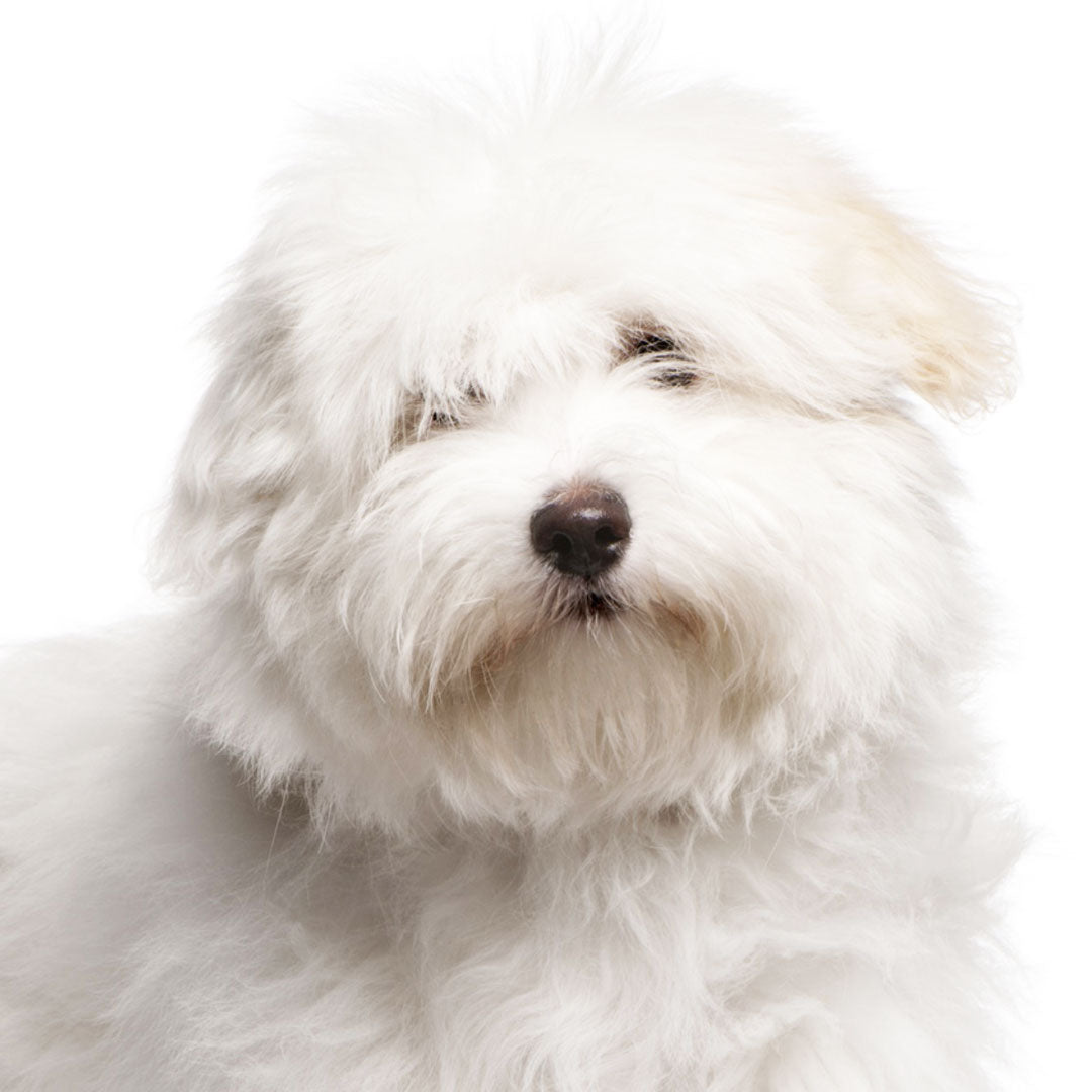 Coton de Tulear Collection