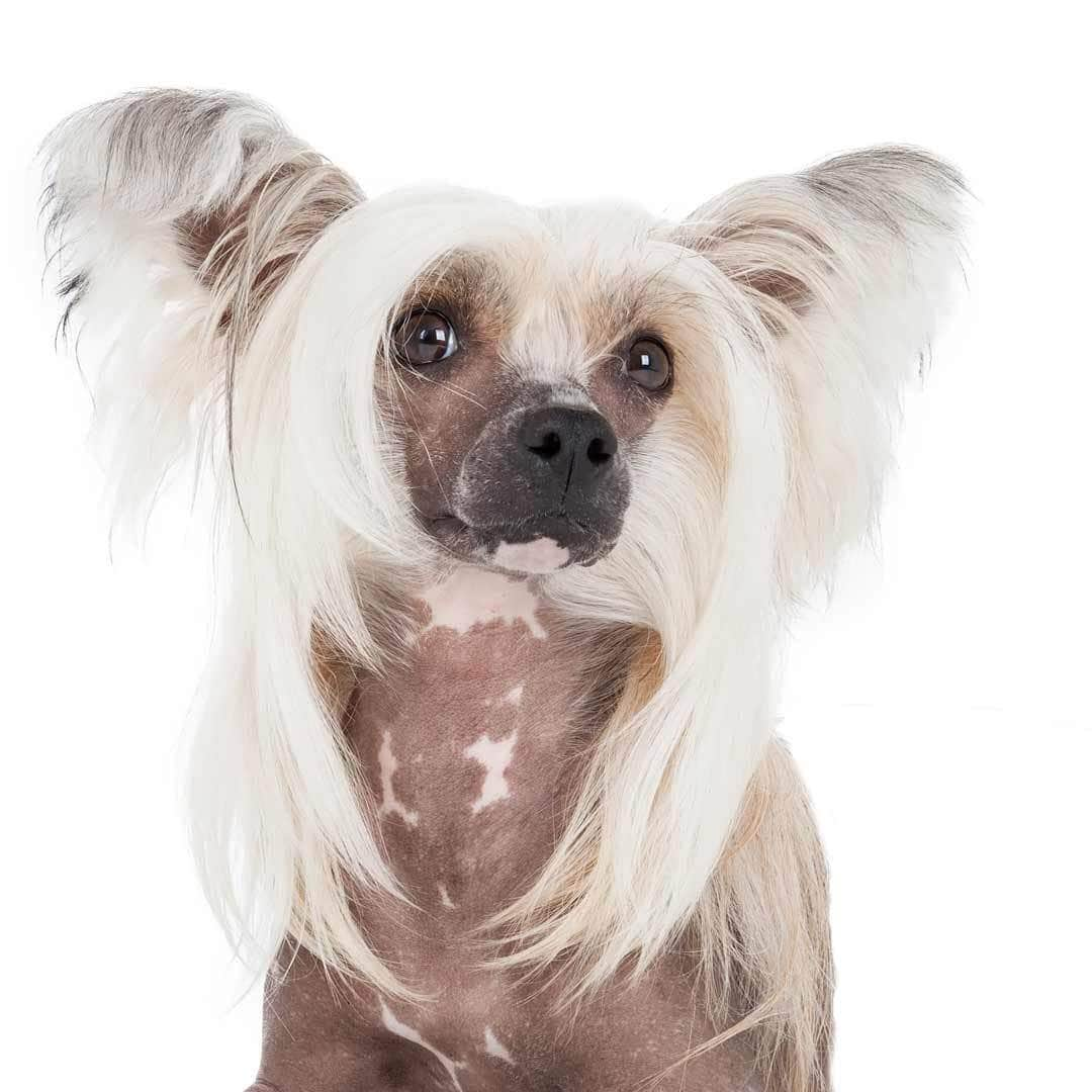 Chinese Crested Collection