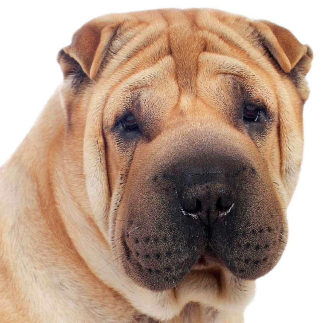 Chinese Shar-Pei Collection