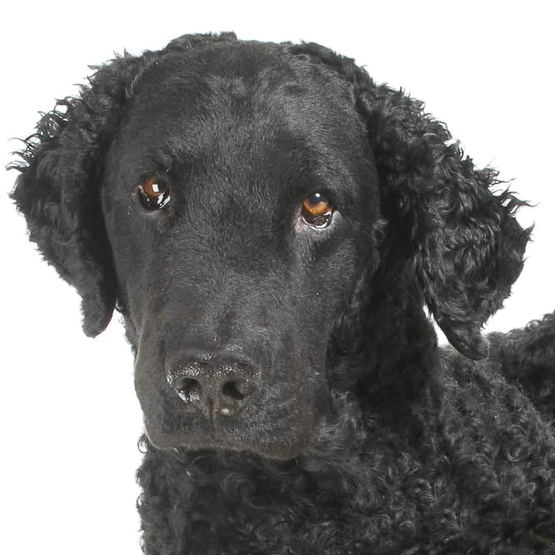 Curly-Coated Retriever Collection