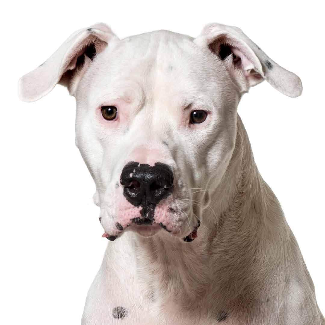 Dogo Argentino Collection