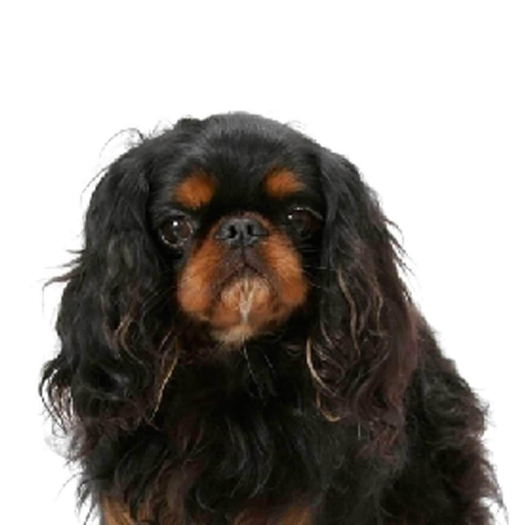 English Toy Spaniel Collection