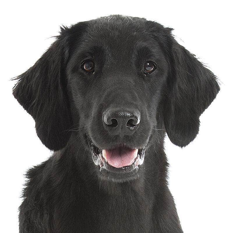 Flat-Coated Retriever Collection