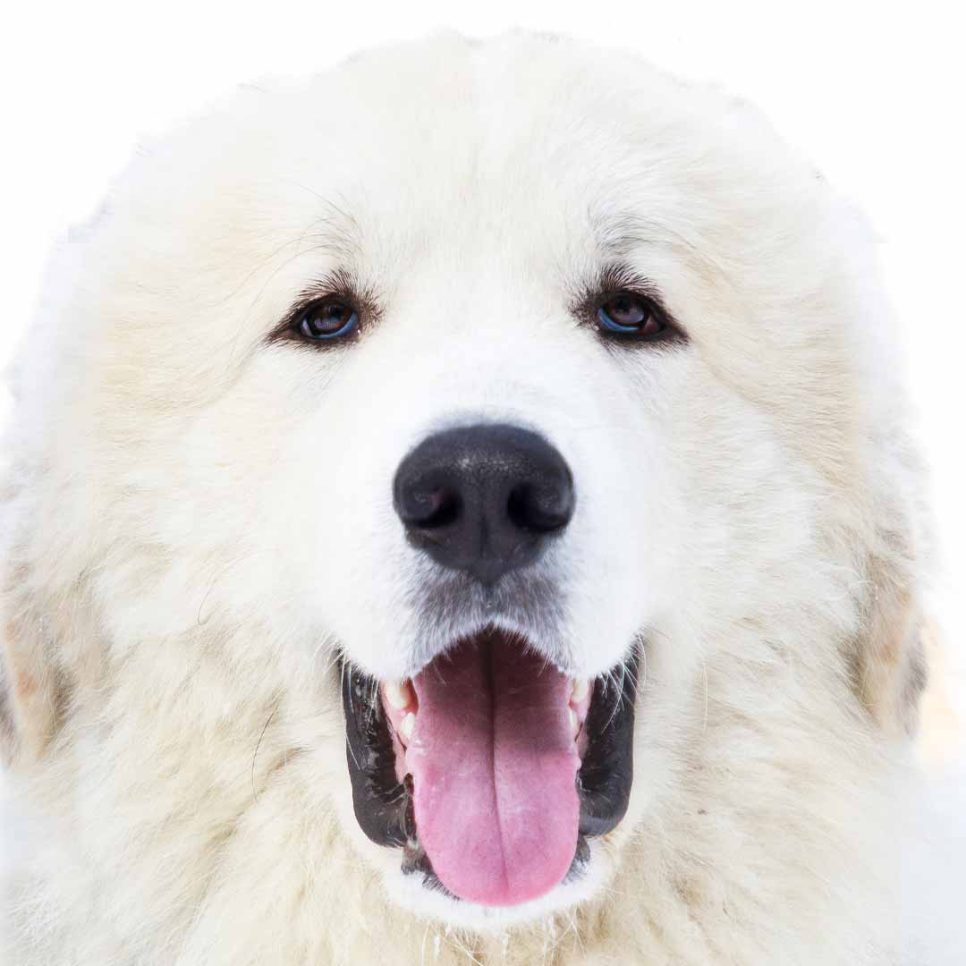 Great Pyrenees Collection