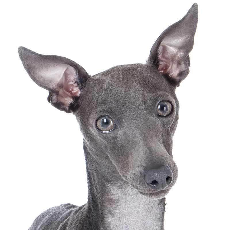 Italian Greyhound Collection