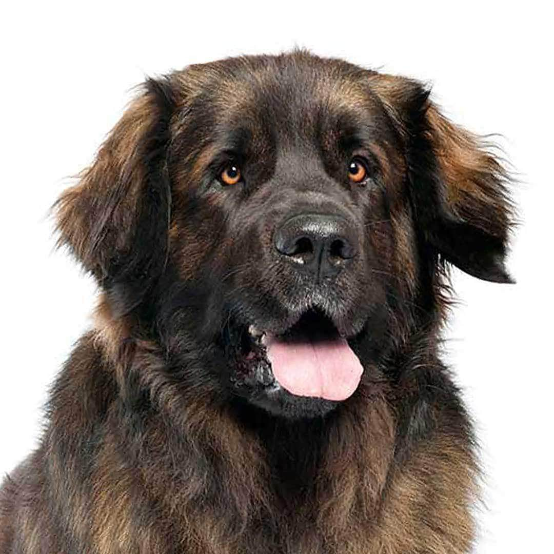 Leonberger Collection